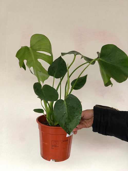 Monstera Plant (Small Cheese)