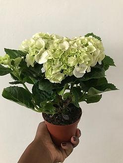 hydrangea Garden Plant .jpeg