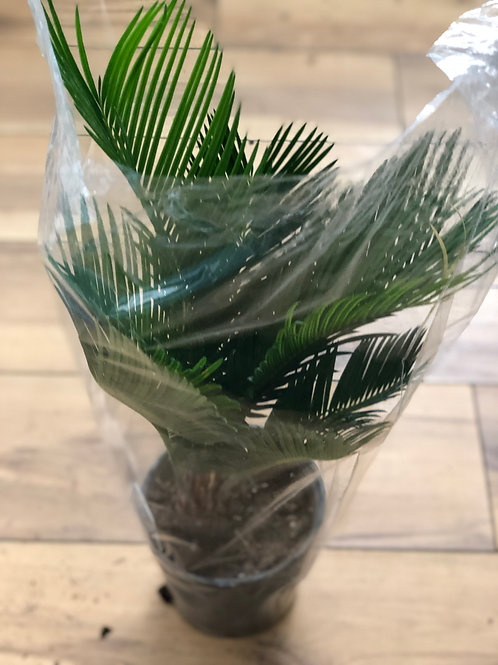 Cycas Plant (Large)