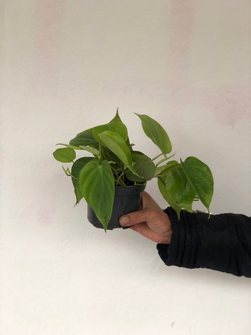 Philodendron Sweet Heart Plant