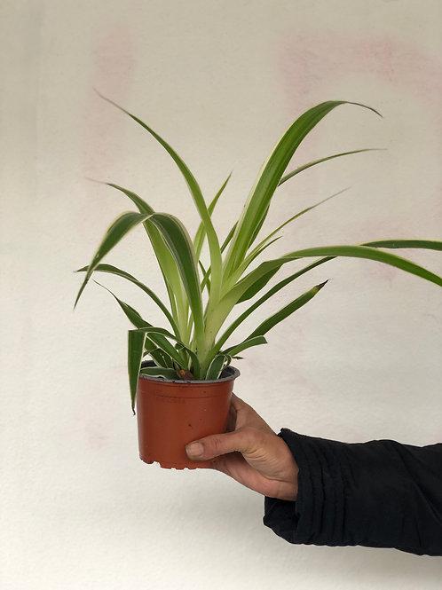 Chlorophytum (Spider) Plant