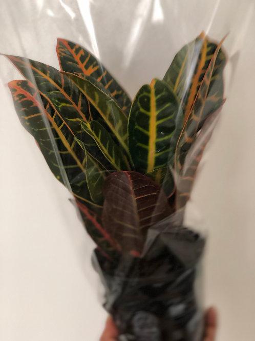 Codiaeum Plant