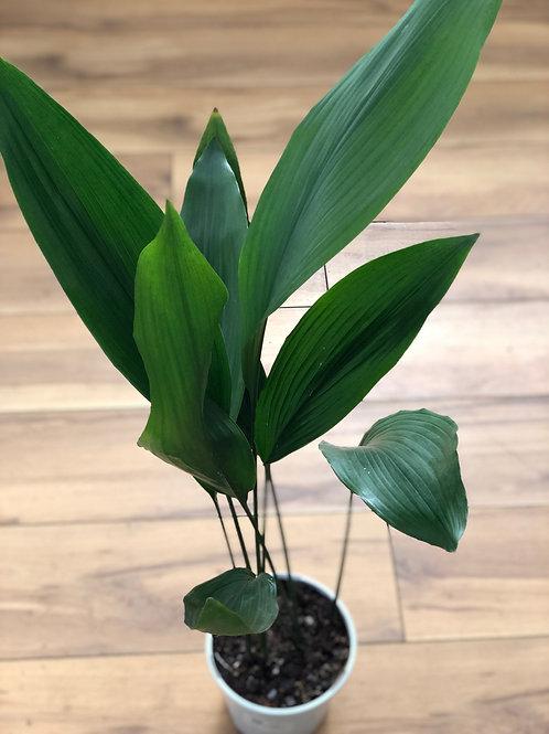 Aspidistra Plant (Large)