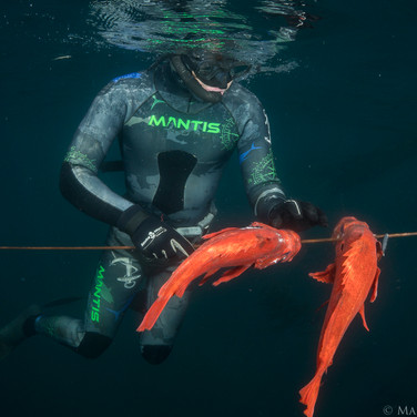 Talus Carpenter with two solid Vermillion Rockfish harvested off the central Coast of California.