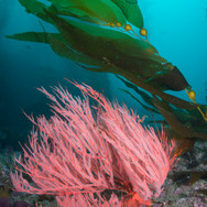A Pink Gorgonian and some young Macrocystis on a deep reef off Anacapa Island, CA