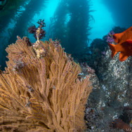 Garibaldi (California State Fish) and brown Gorgonian off the Channel Islands, CA.