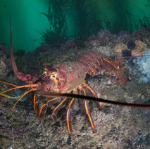 An incredibly large (+-10lbs?) California Spiny Lobster off Coal Oil Point in about 15ft of water. This particular lobster has been in the same hole for years (I call him Larry). Check out the 'normal-sized' lobster behind Larry for reference.