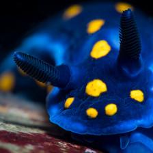 California Blue Dorid