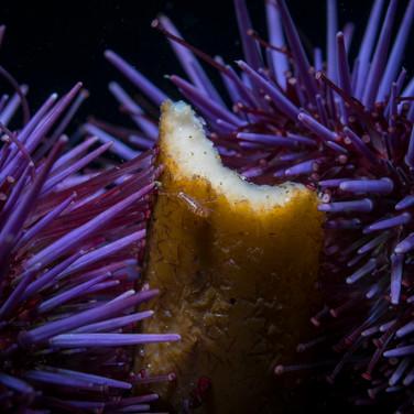 Purple Urchins eating kelp