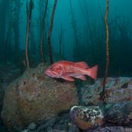 Vermillion Rockfish off the Central Coast of CA. Photo taken around 50ft