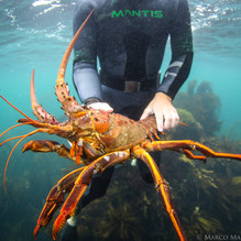 Massive California Spiny Lobster, Channel Islands, CA.