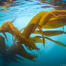 Macrocystis pyrifera Giant Kelp, Big Sur, CA