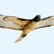 RedTail Hawk, Pacifica, CA