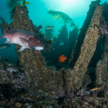 Way out in the kelpbeds, in about 25ft of water, there lies the wreckage of the old oil pier that used to extend SouthEast off the tip of Coal Oil Point back in the 1930's. Here's part of that wreckage (note the metal I-Beams), with plenty of marine life now calling it home.
