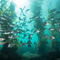 California Sargo making their way through the kelp