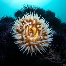 Fish Eating Anemone among Sea Urchins, Mendocino, CA