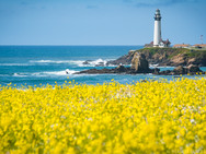 Wildflowers at Pigeon Point, CA