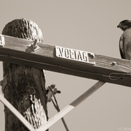RedTail Hawk, Santa Barbara, CA