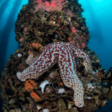 Giant Sea Star feeding on mussels on the piling of an oil rig off the coast of Southern California