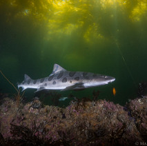 A Leopard Shark leaves the shallows and explores the reef beneath a thick kelp canopy.