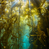 Clear water in a forest of Macrocystis pyrifera off Anacapa Island, CA