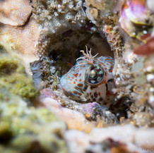 Rockpool Blennys can often be found peering out of small holes in the reef off Coal Oil Point. They rarely exceed a three inches in length.