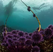 Purple Sea Urchins eating kelp