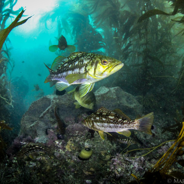 Calico Bass patrolling the reef. These are some of the most common fish off Coal Oil Point.