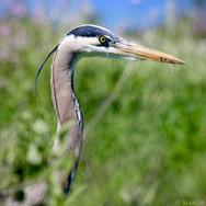 Great Blue Heron, Santa Barbara, CA