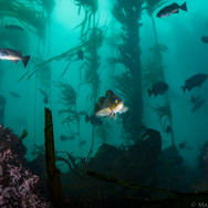 A Kelp Rockfish stands out among Blue Rockfish schooling on a Central California Reef.