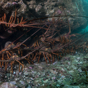 A ledge in about 20ft of water filled to maximum capacity with California Spiny Lobster.
