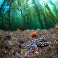A Giant Sea Star on a clear day in the kelp forest off Coal Oil Point.