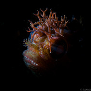 Dramatic lighting on the face of a Yellowfin Fringehead. It's head is about the size of the tip of your pinky finger.