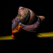 A Norris' Top Snail with Slipper Shells attached. The shell is about one inch in diameter.
