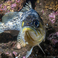 Kelp Rockfish, Santa Barbara, CA.