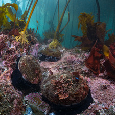 Healthy Mendocino reef with plenty of Red Abalone