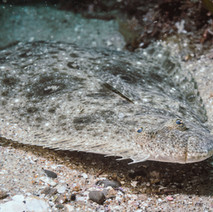 A California Halibut, unsure about my camera. These fish start life swimming vertically with one eye on either side of thier heads like normal fish. As they mature, one eye migrates over to the other side of the fish as it orients itself horizontally. This species often partially buries itself in the sand, camoflauged, waiting to ambush prey.