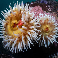 A pair of Giant Fish Eating Anemones, Sonoma County, CA