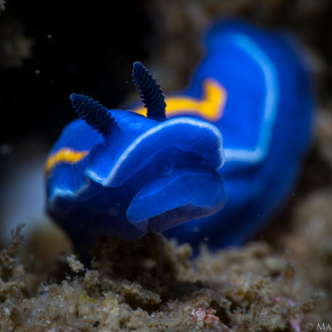 A Porter's Chromodorid Nudibranch, less than 1/2 of an inch in length.