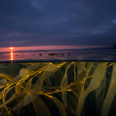 Sunset in the kelp.
