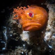 Yellowfin Fringehead, Santa Barbara, CA
