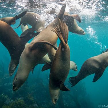 California Sea Lions, Channel Islands, CA.