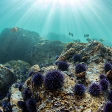 shallow Channel Islands urchin barren