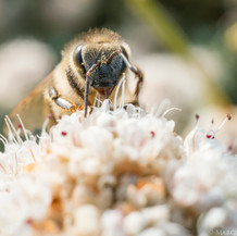 Honey Bee harvesting, Southern California