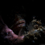 Creepy lighting on the mouth of a tiny Yellowfin Fringehead