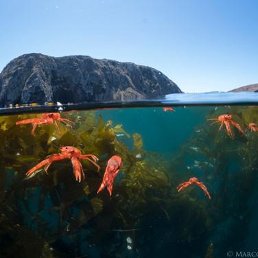 Tuna Crabs, Santa Cruz Island, CA