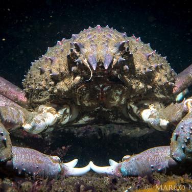 Sheep Crab, Santa Barbara County, CA