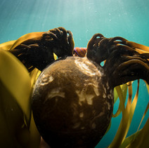 Jeweled Top Snail sitting ontop of a head of Bull Kelp