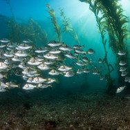 California Sargo making their way through the kelp forest on a calm, clear day in Southern California