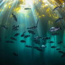 Schooling Blue Rockfish